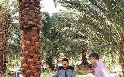 Cooperation with Medjoul date farmers launched