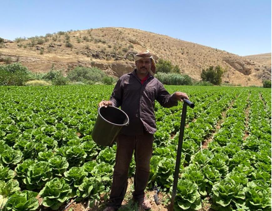 Fertilization advice improves lettuce yields for al Sukhnah region
